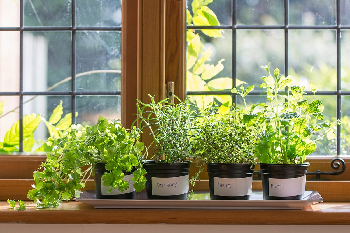 growing herbs indoors