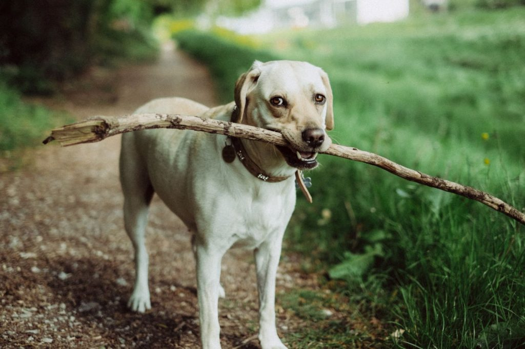 dog holding a large stick